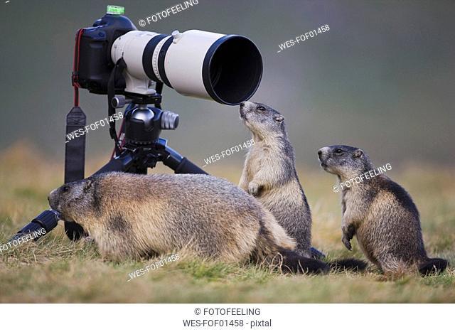 Austria, Alpine Marmots Marmota marmota next to camera