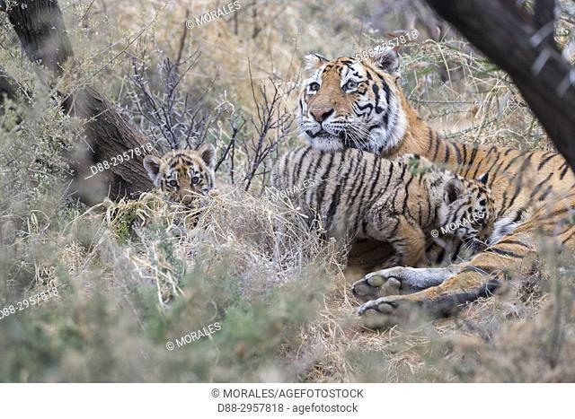 South Africa, Private reserve, Asian (Bengal) Tiger (Panthera tigris tigris), mother resting with babies