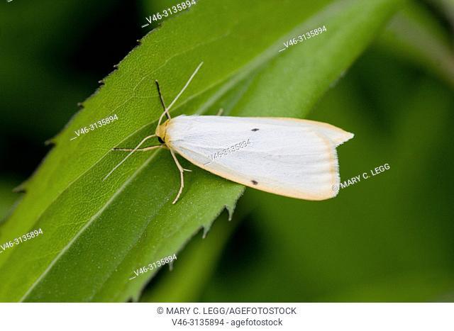 Four-dotted Footman, Cybosia mesomella, a showy white moth with orange edge, Food plants: willow, heather, lichens, Leontodon autumnalis, Vaccinium uliginosum