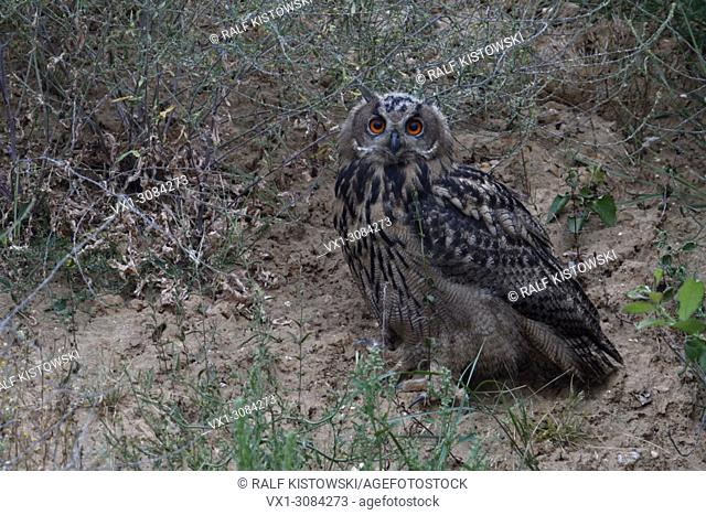 Eurasian Eagle Owl ( Bubo bubo ), young bird, perched between bushes in the slope of a gravel pit, watching, wildlife, Europe