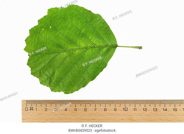 common alder, black alder, European alder (Alnus glutinosa), leaf, upper side, cutout, with ruler