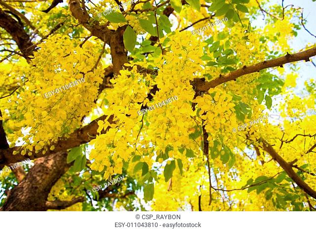 Golden shower National tree of Thailand