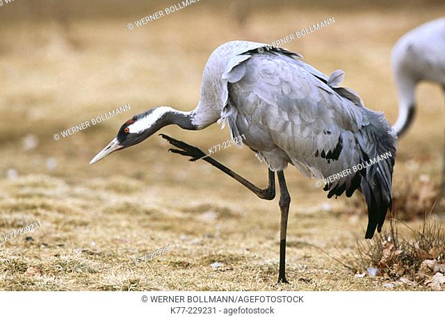 Common Crane (Grus grus). Sweden