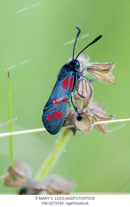 Six-spot Burnet, Zygaena filipendulae. A burnet with six red spots. Wingspan 30-40cm. Habitat: open grasslands, scrublands