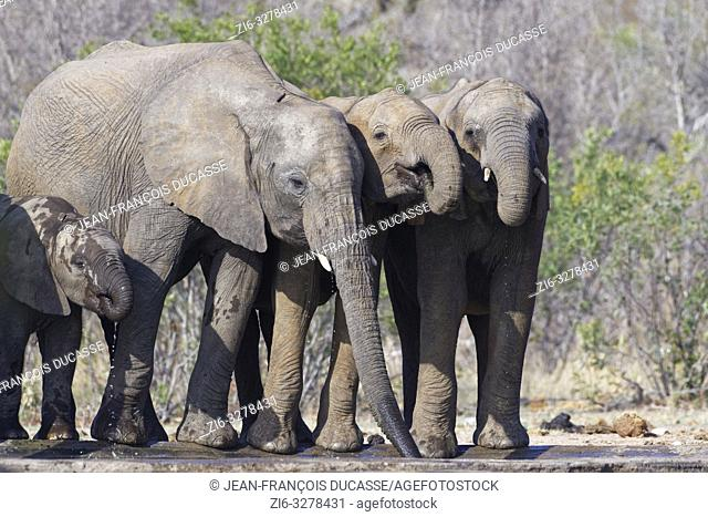 African bush elephants (Loxodonta africana), elephant calves with baby, drinking at a waterhole, Kruger National Park, South Africa, Africa