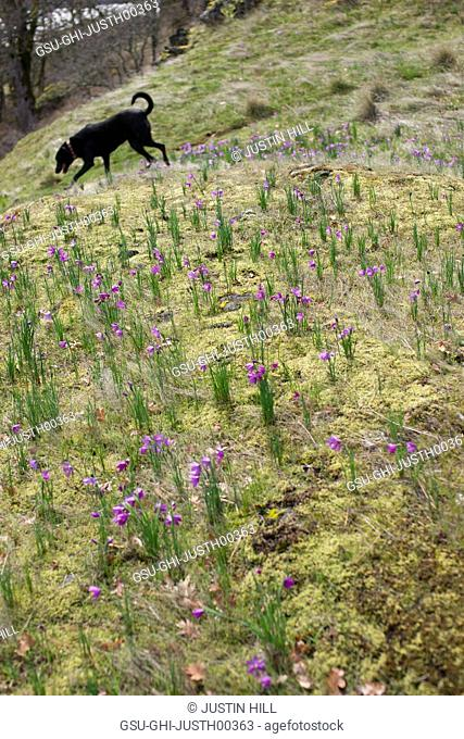 Dog in Meadow with Purple Wildflowers