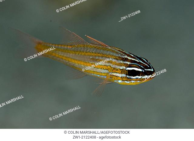 Wassinki Cardinalfish (Ostorhinchus wassinki) at Beacon Slope dive site off Nyata Island near Alor in eastern Indonesia