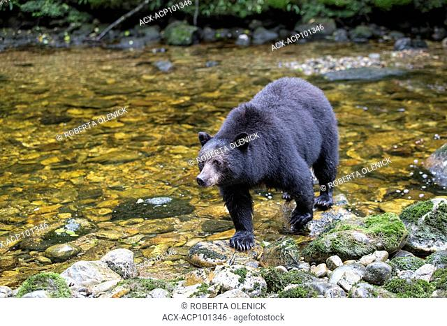 Black spirit bear (Ursus americanus kermodei), Great Bear Rainforest, British Columbia, Canada. Approximately 1 in 10 bears of this subspecies of black bear is...