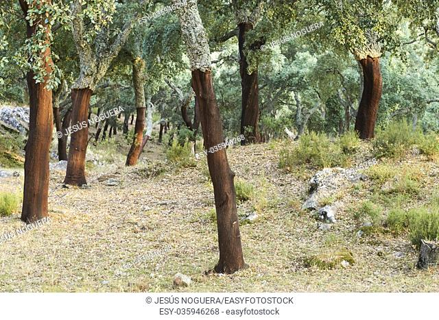 Cork extraction of the cork oak forest in the Alcornocales Natural Park in Cadiz, Spain