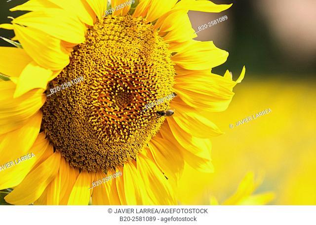 Sunflowers field 'Learza' estate Near Estella, Navarre, Spain