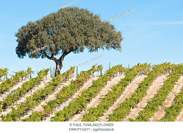 Vitis vinifera, Grapevine, Green subject
