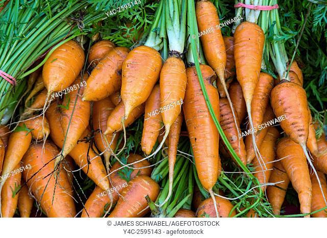 Fresh raw carrots vegetables at Sarasota Farmers Market in Sarasota Florida