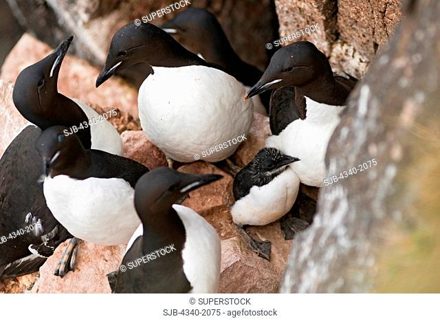 Brunnich's guillemot Uria lomvia adults surround and protect their young chicks nesting along cliffs in Sassenfjorden, Svalbard, Norway