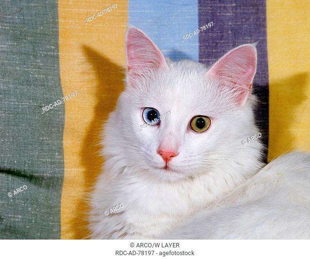 Turkish Angora Cat odd-eyed