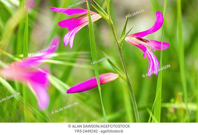 Gladiolus Italicus growing wild in Anaga mountains on Tenerife, Canary Islands, Spain