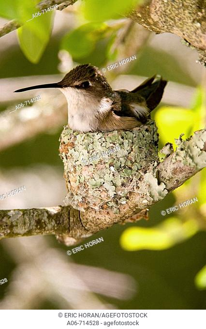 Hummingbird female on eggs in nest