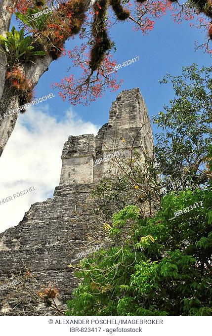 Epiphytes hanging from a tree in front of Temple 1, Temple of the Great Jaguar, Mayan ruins, Tikal, Guatemala, Central America