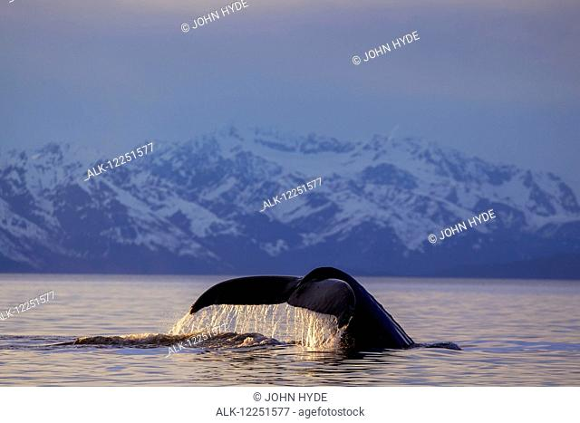View of Humpback whale lifting its tail as it dives under the surface at sunset, Inside Passage, Southeast Alaska