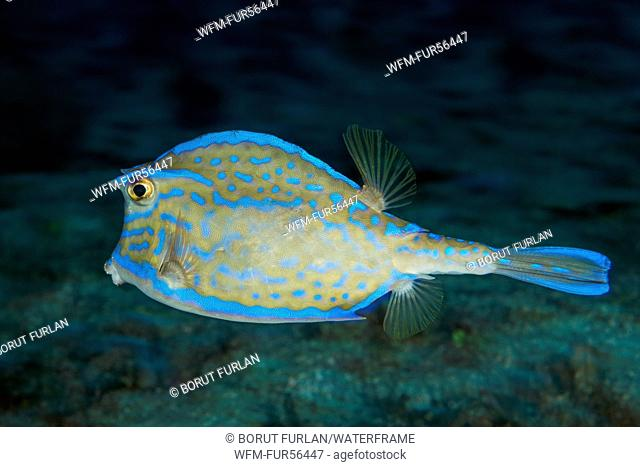 Scrawled Cowfish, Lactophrys quadricornis, Palm Beach, Florida, USA