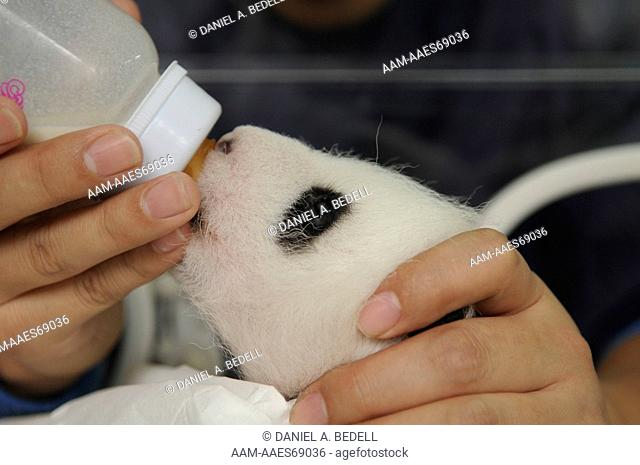 Three month old giant panda cub in incubator being bottle fed by researcher (Ailuropoda melanoleuca) Bifengxia Giant Panda Base, CCRCGP, Ya'an, Sichuan, China