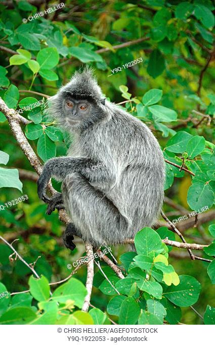 Silvered Leaf Monkey or Silvery Langur Bako National Park Sarawak Borneo Malaysia