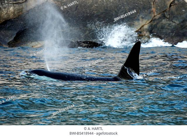 orca, great killer whale, grampus (Orcinus orca), exhaling big male swimming in the proximity of the shore, side view, Norway, Troms, Senja