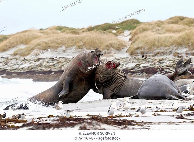 Two bloody southern elephant seal (Mirounga leonina) bulls do battle to establish dominance, Sea Lion Island, Falkland Islands, South America
