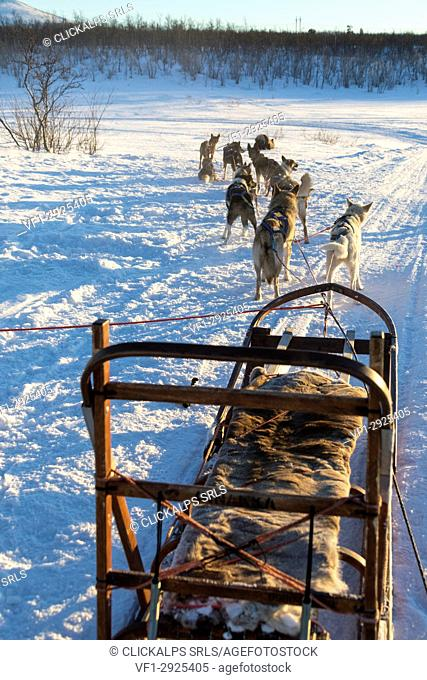 Dogs carrying the sled, Kiruna, Norrbotten County, Lapland, Sweden
