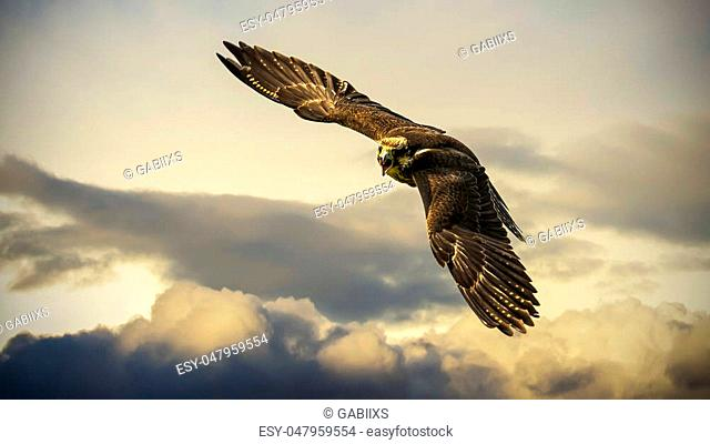 A beautiful hawk in flyght