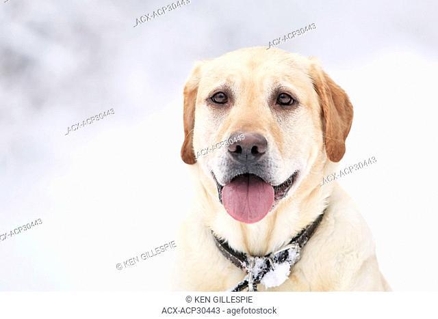 Portrait of a Yellow Labrador Retriever on a snowy winter day. Winnipeg, Manitoba, Canada