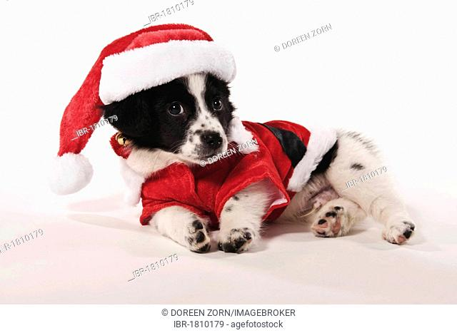 Half-breed puppy lying on the floor, wearing a Santa Claus costume