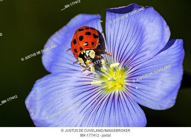 Multicolored asian lady beetle - asian ladybird (Harmonia axyridis) on a blue flax blossom (Linum perenne)