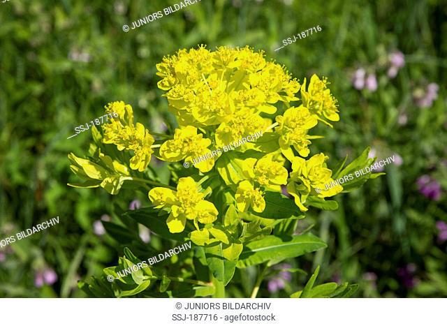 Marsh Spurge (Euphorbia palustris), flowers. Germany