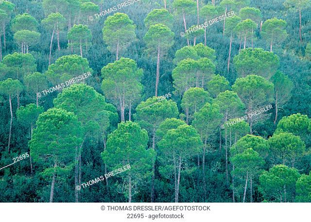 Stone Pines (Pinus pinea). Sierra Morena. Andalusia. Spain