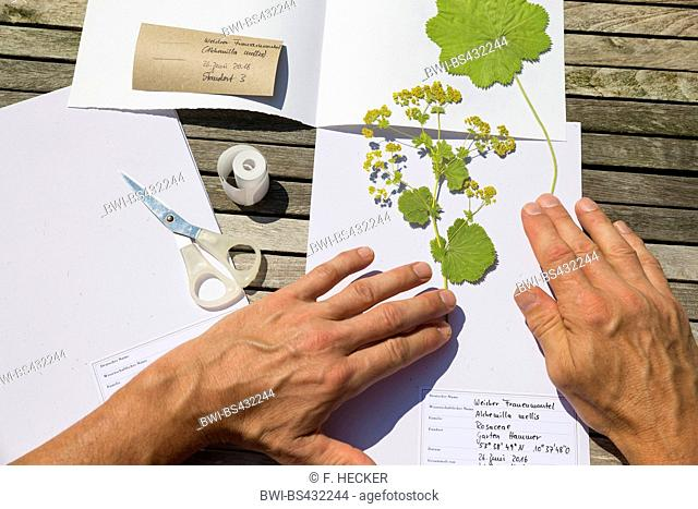 lady's mantle (Alchemilla mollis), pressed plant are put in to the herbarium, Germany