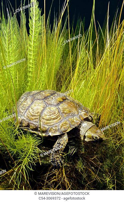 Freshwater Rivers. Mediterranean pond turtle, Maurish turtle, Spanish pond turtle (Mauremys leprosa). Avia river. Pontevedra. Galicia. Spain. Europe