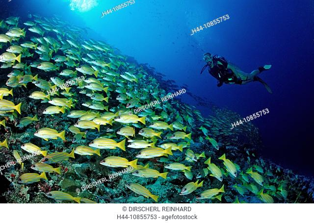 10855753, Maldives, Indian Ocean, Meemu Atoll, Blu
