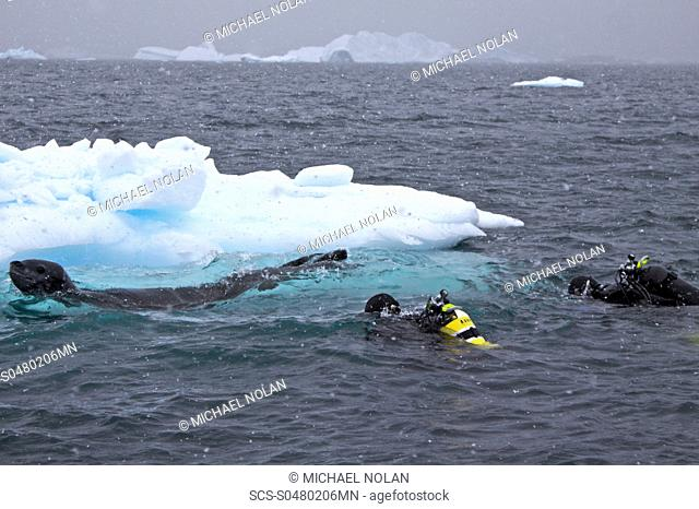 Divers Lisa Trotter and Robert Alexander enter the water with a large, curious, female leopard seal Hydrurga leptonyx near Booth Island on the western side of...