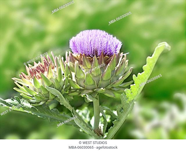Artichoke, blossoming, garden, Asteraceae, Fam. Composites, Cynara scolymus