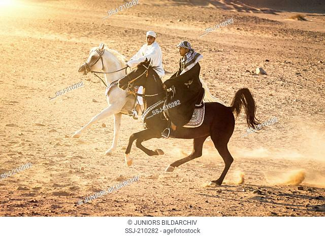 Arabian Horse. Riders in traditional dress on black and white stallions galloping in the desert. Egypt