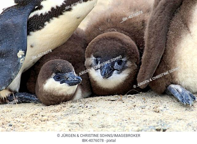 African Penguin (Spheniscus demersus), young, Boulders Beach, Simon's Town, Western Cape, South Africa