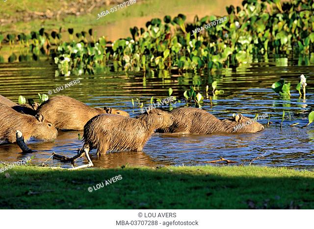 Brazil, Pantanal, water pig's family, Hydrochoerus hydrochaeris, on the way in the water