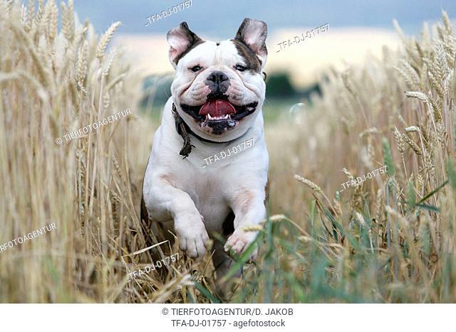 running Renascence Bulldog