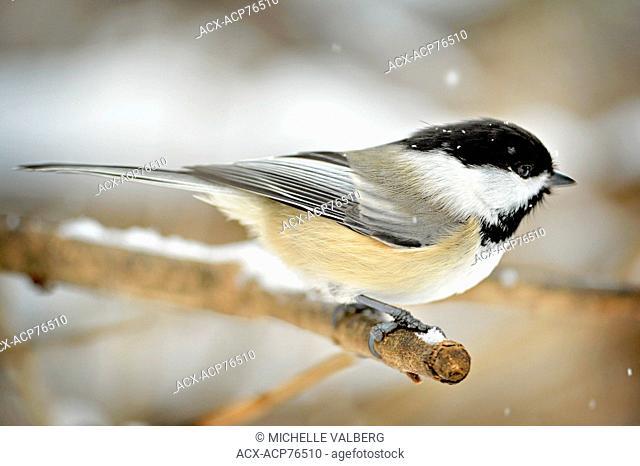 Black-capped Chickadee, Poecile atricapillus, small, North American songbird, a passerine bird in the tit family Paridae, bird, ottawa, ontario, canada, snowing