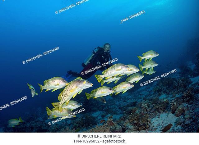 Scuba Diver and Blackspotted Sweetlips, Plectorhinchus gaterinus, Sanganeb, Red Sea, Sudan