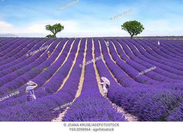 tourists in a lavender field in Valensole, Alpes-de-Haute-Provence, Provence, France, Europe