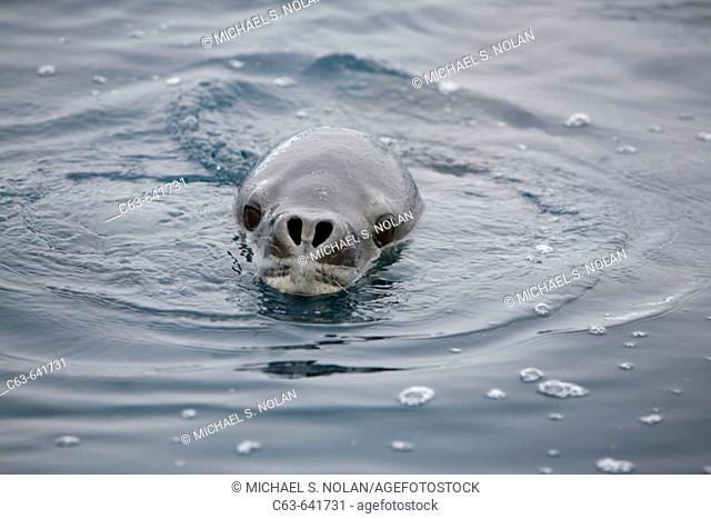 An adult Leopard Seal (Hydrurga leptonyx) in and around the Antarctic Peninsula. This is the only pinniped in the world known to have attacked and killed a...