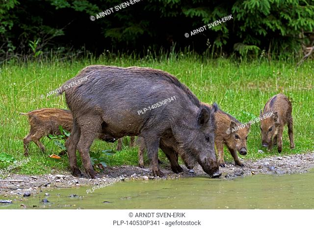 Wild boar (Sus scrofa) sow with piglets drinking water from pond in forest