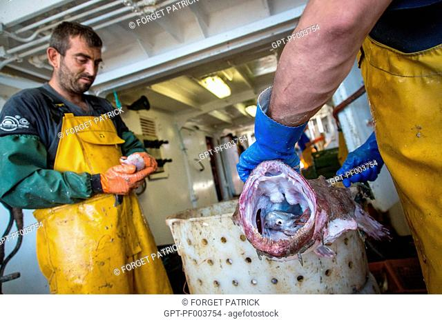 PREPARATION OF THE MONKFISH BEFORE STORAGE IN THE REFRIGERATORS, SEA FISHING ON THE SHRIMP TRAWLER 'QUENTIN-GREGOIRE' OFF THE COAST OF SABLES-D'OLONNE (85)