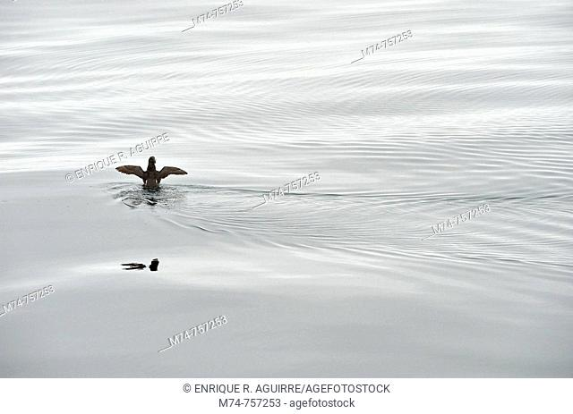 Common Murre (Uria aalge) on surface with fish